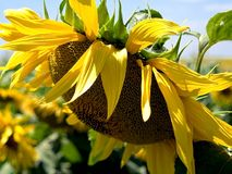 Sunflower. In a beautiful sunlight day royalty free stock photography