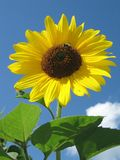 Sunflower. A sunflower in our garden Royalty Free Stock Photo