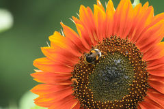 sunflower 库存照片