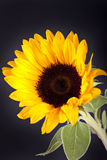 Sunflower. Beautiful sunflower on dark background Stock Photos
