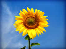 Sunflower. And blue sky,close up Royalty Free Stock Image