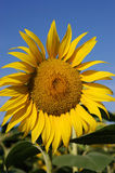 Sunflower. Against the blue sky Royalty Free Stock Photos
