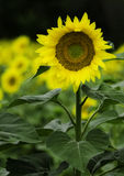 Sunflower. One sunflower in evidence in a sunflower field Stock Image