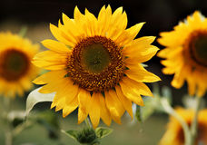 Sunflower Royalty Free Stock Photo