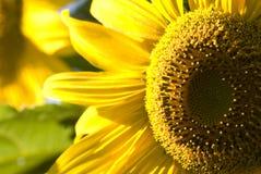 Sunflower. Head Was taken in 2009 Stock Image