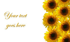 Sunflower. Design with copy space for text Stock Photo
