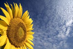 Sunflower. In a nice day royalty free stock photography