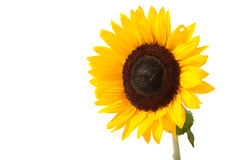 Sunflower. Sunny yellow sunflower isolated over white with green leaves royalty free stock image