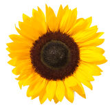 Sunflower. Bright colorful yellow sunflower isolated over white stock photography