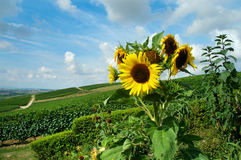 Sunflower. Summer landscape with sunflower and green vineyards on background (Germany Stock Image