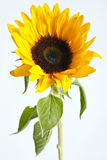 Sunflower. Beautiful sunflower on dark background Royalty Free Stock Photos