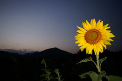 Sunflower. A sunflower in sunflowers garden at dusk Royalty Free Stock Photography