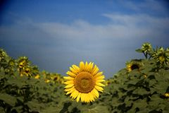 Sunflower. In a spring sunny day stock photography
