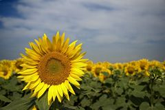 Sunflower. In a spring sunny day royalty free stock photography