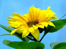 Sunflower. CSummer blooming yellow sunflowers on a blue background stock image