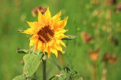 Sunflower. A  sunflower closeup against a blurred green background Stock Photos