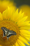 Sunflower. A beautiful butterfly landed on a sunflower Royalty Free Stock Image