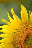 Sunflower. In full bloom spent on a green background Royalty Free Stock Photo
