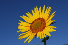 Sunflower. In the morning light Royalty Free Stock Photo