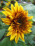 Sunflower. Yellow and red sunflower in a garden Stock Photos