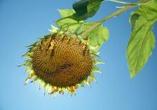 Sunflower. Seedy sunflower backlit against sun and sky stock photography