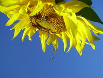 The sunflower Royalty Free Stock Photo