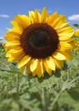 Sunflower. On the field in summer Stock Photo