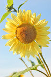 Sunflower. Blossom of a sunflower in front of blue summer sky Stock Image