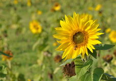 A sunflower Royalty Free Stock Photo