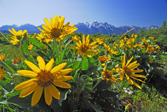 Sunflower Grand teton montains Stock Photography