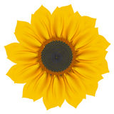 Sunflower stock illustration