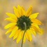 Sunflower. Backlite sunflower taken from rear with macro lens Stock Photo