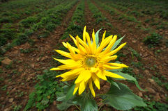 Sunflower. At spring in china royalty free stock photo