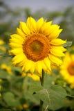 Sunflower. A sun flower in a sunflower farm Royalty Free Stock Photos