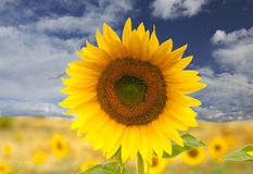 Sunflower. Isolated yellow sunflower against sky background Stock Image