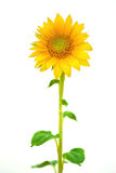 Sunflower. Beautiful Natural Sunflower isolated on white background Royalty Free Stock Photo