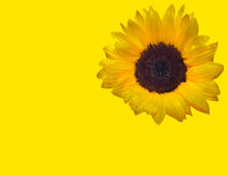 A sunflower Stock Photo