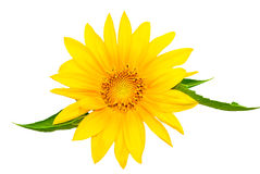 Sunflower. Beautiful Natural Sunflower isolated on white background Royalty Free Stock Photos