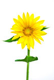 Sunflower. Beautiful Natural Sunflower isolated on white background Stock Images