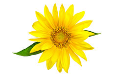 Sunflower. Beautiful Natural Sunflower isolated on white background Stock Photo