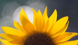 Sunflower. Close up of yellow sunflower petals Royalty Free Stock Photo