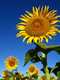 Sunflower. Single sunflower in a field Royalty Free Stock Images