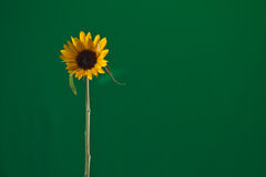 Sunflower. Head isolated on green background Royalty Free Stock Images