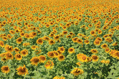 Sunflower. Colorful enormously sunflower in field Stock Photography