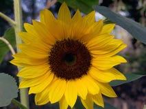 Sunflower. Golden sunflower Royalty Free Stock Photos