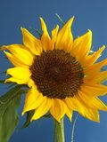Sunflower. Against the clear blue sky stock photo