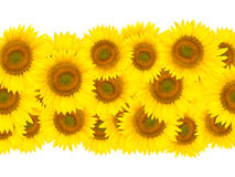 Sunflower. A triple row of sunflowers, Isolated on white background stock image