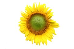 Sunflower. Detail of yellow sunflower isolated on white background Stock Photography