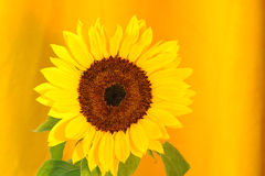 Sunflower. Beautiful sunflower with orange background Stock Photo