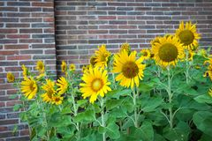 Flower of sunflower stock photography